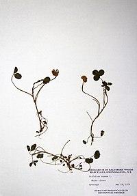 Trifolium repens BW-1979-0529-0395.jpg