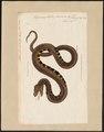Trigonocephalus piscivorus - 1802 - Print - Iconographia Zoologica - Special Collections University of Amsterdam - UBA01 IZ11700045.tif