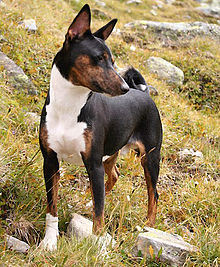 Stud Dog Toy Poodle