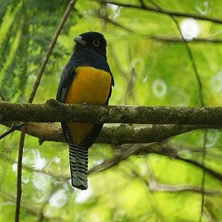 Guianan trogon species of bird