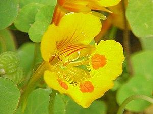 Species: Tropaeolum minus Family: Tropaeolacea...