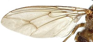 Tsetse fly - A photograph of the wing of a tsetse illustrating the hatchet shaped central cell