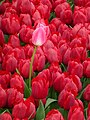 Tulip 1300195.jpg
