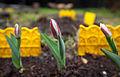 Tulipa (8742199050).jpg