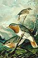 Turdus ruficollis NAUMANN.jpg