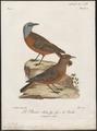Turdus rupestris - 1796-1808 - Print - Iconographia Zoologica - Special Collections University of Amsterdam - UBA01 IZ16300295.tif