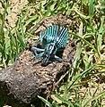 TurquoisebeetleBrazil 120.jpg