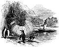 Tussac grass-Voyage Southern and Antarctic Regions-2-1847-0241.jpg