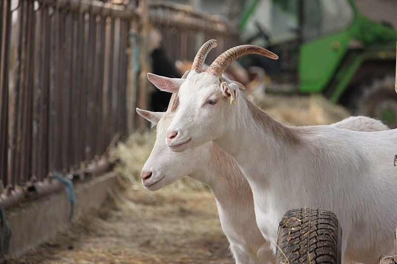 File:Two goats de la ferme.jpg