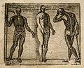 Two skeletons and one half-skeleton, half-female figure. All Wellcome V0007794.jpg