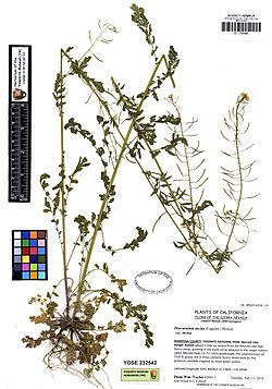 UC1755468 Descurainia incisa ssp. incisa (8000505304).jpg