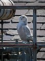 USDA South Building in Washington, Snowy Owl, 2018-02-05 (25232848437).jpg