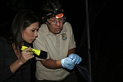 USFWS biologist with little brown bat (5929943023).jpg