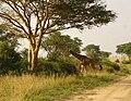 Uganda Murchison-Falls-giraffe.jpg