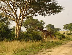 Rothschildgiraffe im Murchison Falls Nationalpark