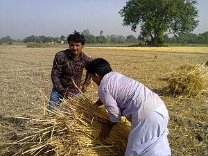 Etah - Two young farmers binding the wheat bundles for putting in thresher machine