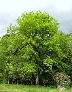 <i>Fraxinus uhdei</i> Species of flowering plant