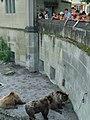 Ursus arctos arctos in Bärengraben (3).jpg