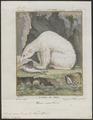 Ursus maritimus - 1700-1880 - Print - Iconographia Zoologica - Special Collections University of Amsterdam - UBA01 IZ22600083.tif