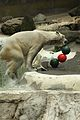 Ursus maritimus at the Bronx Zoo 012.jpg
