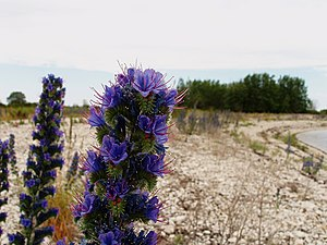 "Viper's Bugloss Echium vulgare. Picture has been named ""Ussikeel"" (Estonian translation for Viper's Bugloss) as the reason this image is taken in Estonia, in a little island called Osmussaar."