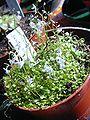 Utricularia sandersonii 2.jpg