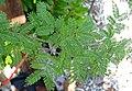 Vachellia farnesiana (sweet acacia) 2 (39039814385).jpg