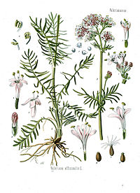 Valeriana officinalis - Köhler–s Medizinal-Pflanzen-143 clean.jpg