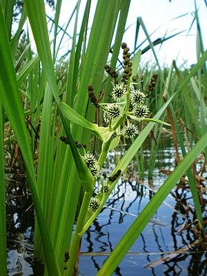 Sparganium erectum - Image: Vandens augalas 01