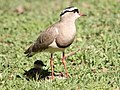 Vanellus coronatus -South Africa -adult and chicks-8.jpg