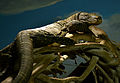 Varanus salvadorii Zoo Amneville 28092014 1.jpg
