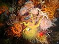 Various echinoderms at East Shoal P8150980.JPG