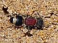 Velvet Ant (Mutillidae) (12089481294).jpg