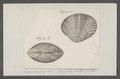 Venus bufonia - - Print - Iconographia Zoologica - Special Collections University of Amsterdam - UBAINV0274 077 11 0015.tif