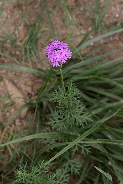 File:Verbena tenuisecta = Glandularia pulchella (Verbenaceae) (4758159505).jpg