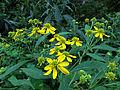 Verbesina alternifolia - wingstem.jpg