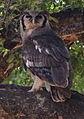 Verreaux's eagle-owl, or giant eagle owl, Bubo lacteus eating a snake at Pafuri, Kruger National Park, South Africa (20497273660).jpg