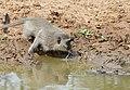 Vervet Monkey (Chlorocebus pygerythrus) drinking ... (31903767251).jpg