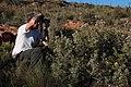 Vexatorella obtusata albomontana Rebelo 4.jpg