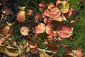 Viburnum carlesii C.jpg