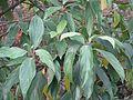 Viburnum cylindricum - Flickr - peganum (1).jpg
