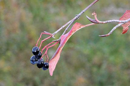 Viburnum lentago SCA-8320.jpg