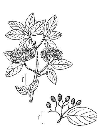 Viburnum prunifolium - Botanical illustration