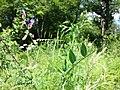 Vicia dumetorum sl16.jpg