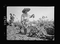 Vintage activities at Richon-le-Zion, Aug. 1939. Grape picker, Polish girl, immigrant LOC matpc.19764.jpg