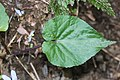 Viola vaginata (leaf).jpg