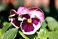 Viola x wittrockiana Matrix Sunrise 0zz.jpg