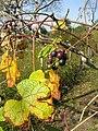Vitis ficifolia 1.JPG