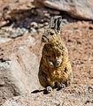 Vizcacha de la Sierra (Lagidium viscacia), Desierto de Siloli, Bolivia, 2016-02-03, DD 30.JPG