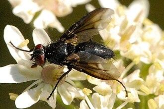 Dexiinae - Wagneria costata